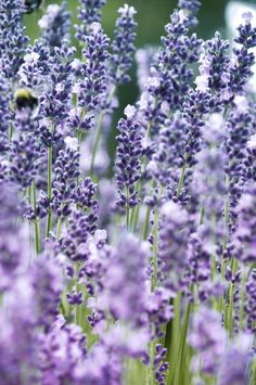 ::Lavender:: by Holunder
