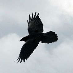 ravens in flight | Raven in flight