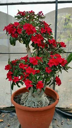 The Red Impala Lily
