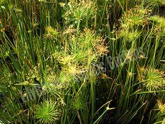 Dwarf Papyrus (Cyperus haspans)