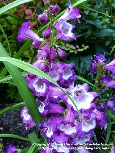 New variety of Penstemon or Beard Tongue in my garden 2015. Perennial, Zones 3-7