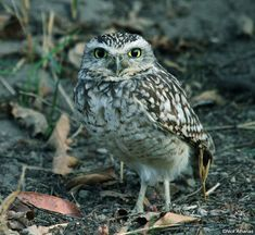 Burrowing Owl (Athene cunicularia). Photo by Nick Athanas.