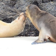 How about a kiss? Galapagos islands with Contiki.