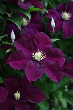 25 Dark Purple Clematis Seeds Perennial Giant Flower Garden Plant Spring Summer Vine Blooming Plumeria Seed Blooms Tropical Climbing – Famous Last Words Clematis Plants, Purple Clematis, Clematis Flower, Clematis Vine, Climbing Clematis, Shade Perennials, Flowers Perennials, Planting Flowers, Flowers Garden
