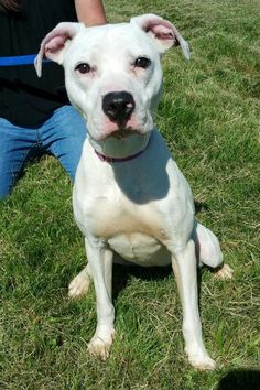 URGENT! Rosebud * At Risk To Be Killed: Sep 23, 2016 * Breed:Pit Bull Terrier (mix breed) Age: Young adult Gender: Female Size: Medium Additional : altered Additional : hasshots Shelter Information: Columbiana County Dog Pound 8455 County Home Rd Lisbon, OH Shelter dog ID: 22316 Contacts: Phone: 330-424-6663 Name: Jessica email: Jgordon@ccclerk.org  Read more at http://www.dogsindanger.com/dog/1471813621119#RaHAjye1LIHDbkB6.99