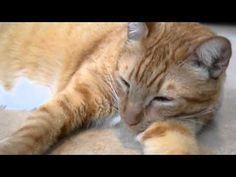 Beautiful Pet Kitten For Adoption In Europe - http://www.baubaunews.com/bau-blog/beautiful-pet-kitten-for-adoption-in-europe/ http://img.youtube.com/vi/tIlzRXIYWJ8/0.jpg