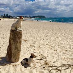 Life guards on Duty  #Currumbin #currumbinbeach #surfing #beach #burlieghheads #ausfeels #australia_oz #aussiephotos #beach #goldcoast #igersgoldcoast #IG_DOWN_UNDER #ocean #photooftheday #queensland #signature_shotz #socialife.australia #thisisqueensland #visitqueensland #visitgoldcoast #jrt #jackrussell #jackrusselllovers #jackrussellterrier #jackrussellsofinstagram #dogs #animalheartedcommunity #doglover #dogstagram #dogsofinstagram #dogsofinstaworld by bearybythebeach…