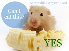 Acceptable Hamster Food - just not that much banana! Hamster Diet, Hamster Care, Hamster Eating, Hamster House, Diy Hamster Toys, Bear Hamster, Hamster Treats, Hamster Stuff, Pet Stuff