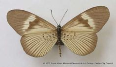 This butterfly was collected in January 1902 in Africa and was donated to the Museum in Mr Joicey's butterfly collection in 1934.