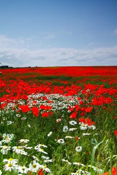 This reminds me of going to see my sister a few years ago. There was a beautiful poppy field near a cricket pitch in Milton Keynes I drove past on the most perfect summer day :)