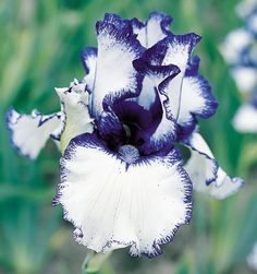 "Orinoco Flow | Award Winners.  Type: Border Bearded (BB) Style: Plicata Height: 25.0"" Color: Blue Originator: Bartlett, Cy Year: 1993 Bloom Season: Early midseason Fragrant: Yes Rebloom: No Awards: British Dykes Medal '94       $7.50   Qty:          Clean white petals precisely stitched with deep blue-violet plicata markings. Good heavily ruffled form. Slightly fragrant."
