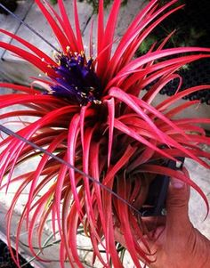 Air Plant   Tillandsia - only EVER seen grey ones. this is amazing