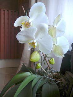La orquídea de color blanco expresa un amor puro e idealizado por la persona amada.