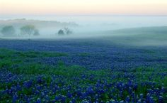 Ennis, Texas, Bluebonnet Trail - Gorgeous!!  Great website for finding bluebonnets all over Texas.