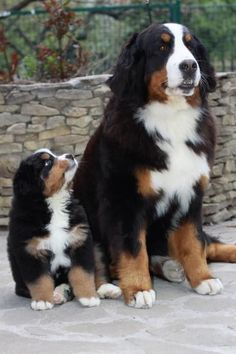 mini bernese mountain dog - Google Search #BerneseMountainDog