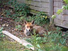 London Fox, Fox, United Kingdom