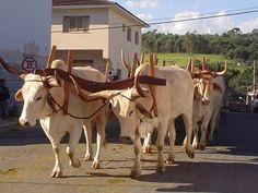 Foto: João Carlos de Carvalho Filhoi - Desfile de carro de boi em santa Rita de Caldas Minas Gerais. Boiada Caracu.