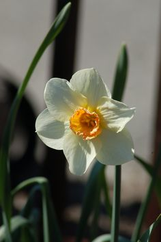 Narcissus comes in various sizes, colors, and shapes. This type has white petals with a short, orange trumpet. Myself, I prefer the ones that are all yellow and have long trumpets, such as the one I picture in my article here on daffodils: http://landscaping.about.com/od/floweringbulbs/p/daffodils.htm