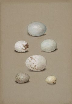 Six Bird's Eggs,watercolor by Isaac Sprague from the 1840s.