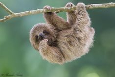 The Bradypus tridactylus (Pale-throated sloth) is a mammal that belongs to the family of Bradypodidae. You can see 10 photos of this mammal. Cute Sloth Pictures, Cute Animal Pictures, Pictures Of Sloths, Sloth Photos, Cute Little Animals, Cute Funny Animals, Cute Baby Sloths, Baby Otters, Spirit Animal