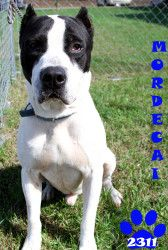 MORDECAI is an adoptable Pit Bull Terrier Dog in Georgetown, OH. #2311 Pit (mix). 'MORDECAI' Male (intact). Approx. 3 years old. 67 lbs. Stray from St Rt 763. This is just a super friendly baby. ......