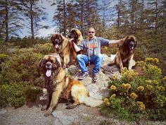 Out on our morning walk with the boys, such a heavenly place #Leonberger #Hillhavenleonbergers #Dogs #pets #Crufts #Sully #Delboy #Otso #Bubba