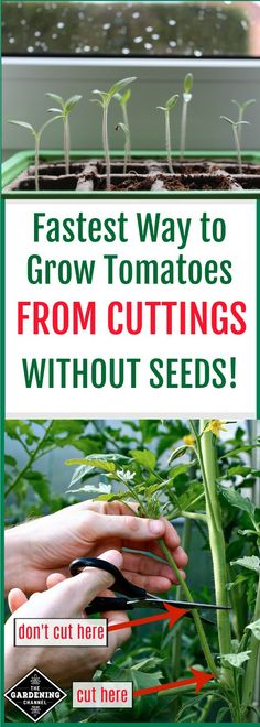 How to grow tomato plants from cuttings.  If you want to regrow your best tomatoes next year try this method in your garden.