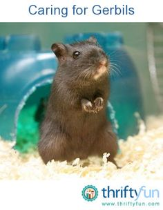 Gerbils are friendly and inquisitive. They make lively, active pets that are easy and relatively inexpensive to keep and interesting to watch.  Most domesticated gerbils are Mongolian gerbils.