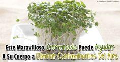 El germinado de broccoli fresco es más potente que el broccoli entero. Descubra todos sus beneficios saludables… http://articulos.mercola.com/sitios/articulos/archivo/2014/07/08/beneficios-del-germinado-de-brocoli.aspx