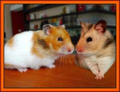 Love  is two hamsters by jellybaby86, via Flickr.