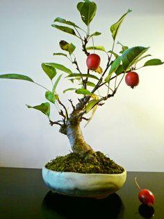 Crab Apple bonsai, still a work in progress