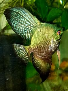How To Choose A Tropical Fish Aquarium The first decision you must make when you buy an aquarium is whether you plan to keep freshwater fish or saltwater Aquarium Set, Tropical Fish Aquarium, Live Aquarium Plants, Discus Aquarium, Freshwater Aquarium Plants, Freshwater Fish, Saltwater Tank Setup, Aquarium Backgrounds, Pet Fish