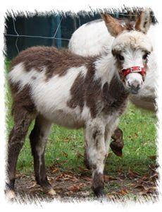 Pretty Pinto Donkey