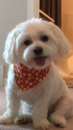 Bentley | Maltese | Puppy Love