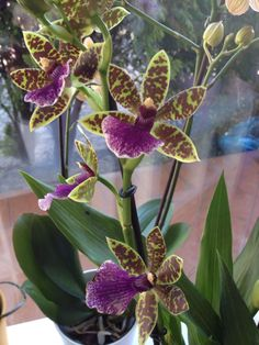 Orchidea zygopetalum