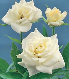 John F. Kennedy Hybrid Tea Rose - Yes, what I special ordered for the house my ex sold. Elegant Flowers, Pretty Flowers, White Roses, Red Roses, Outside Plants, Perennial Flowering Plants, Fragrant Roses, Love Garden, Garden Ideas