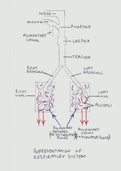 The respiratory system respiratory notes pinterest respiratory the respiratory system respiratory notes pinterest respiratory system ccuart Images