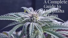 A Complete Guide to Marijuana Strains Hindu Kush, Muscle Spasms, Cannabis Plant, Feeling Hungry, Blue Dream, Sleep Deprivation, How To Relieve Stress, Health Benefits, How Are You Feeling