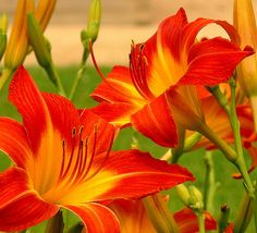 Orange day lillies, I love how quickly they multiply and grow ANYWHERE.