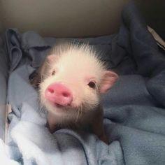 Conheça os filhotes de 15 animais e resista à fofura deles, se puder - Süße Tiere - Cute Baby Pigs, Cute Piglets, Baby Piglets, Cute Little Animals, Cute Funny Animals, Little Pigs, Cute Animals Puppies, Animal Pictures, Cute Pictures