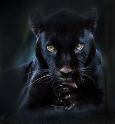 A black panther is typically a melanistic color variant of any of several species of larger cat. In Latin America, wild 'black panthers' may be black jaguars; in Asia and Africa, black leopards ; Black Panthers, Black Tigers, Beautiful Cats, Animals Beautiful, Simply Beautiful, Beautiful Gorgeous, Animals And Pets, Cute Animals, Black Animals