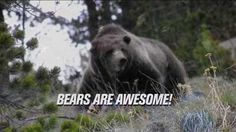 Bears are awesome and this video proves it