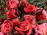 Kate's Delight Mini Rose