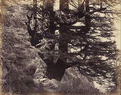 Samuel Bourne (1834 - 1912) - Great Deodar, 42 Feet in Circumference, 1863
