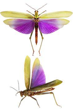 Titanacris albipes