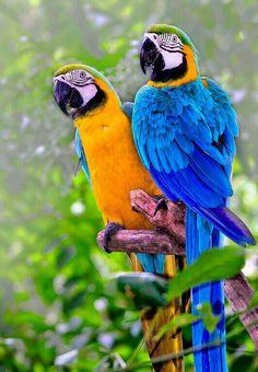 Loros de colores.