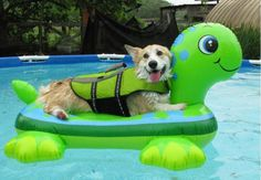 another thing that makes corgis happy - he really does look like he's enjoying his turtle float