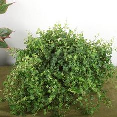 Want to know how to grow ficus? Get tips for caring for this indoor plant, including how to water ficus and more. It's one of the best houseplants! Plants Sunny, Little Plants, Cool Plants, Indoor Plants, Indoor Hanging Baskets, Fig Varieties, Angel Plant, Ficus Pumila, Nerve Plant