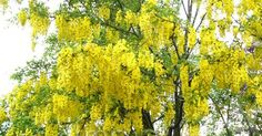 This is a small tree known for outstanding pendulous racemes of yellow flowers produced in abundance in late spring giving it a pendulous or weeping appearance. Can be trained effectively over a frame or pergola for a spectacular effect. As shown foliage is golden yellow in autumn, hence its common name.