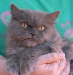 Sumo melts in your hands when you brush him gently and talk sweetly.  He is a cute Persian, 6 years of age and neutered, ready for adoption at Nevada SPCA (www.nevadaspca.org).  Sumo enjoys being held and wants plenty of quality time with you daily.  He needed us due to his previous owner's declining health.